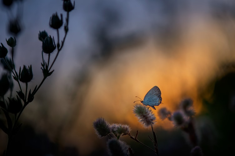 Butterfly at twilight sitting on a flower