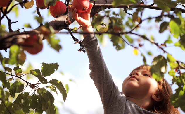 young boy reaching up to pick an apple from a tree
